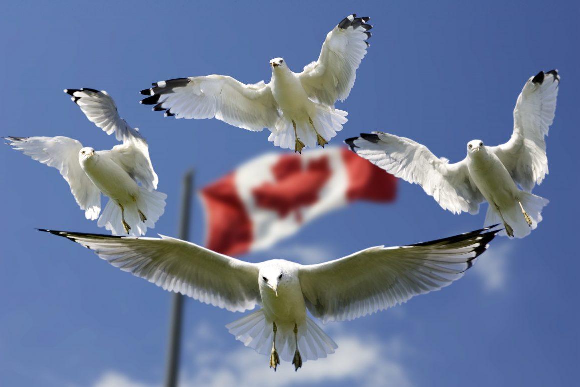 Viaje al genuino noreste de Canadá - Gaviotas Bandera