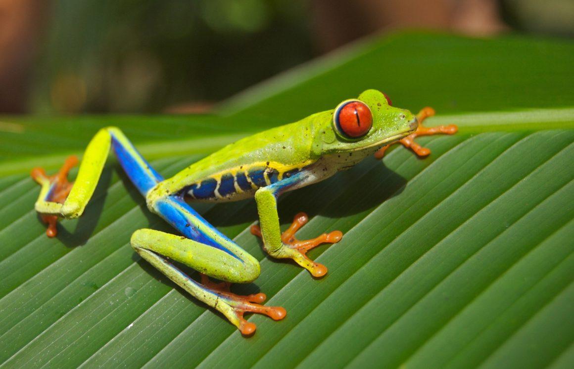 Costa Rica Rana Ojos rojos