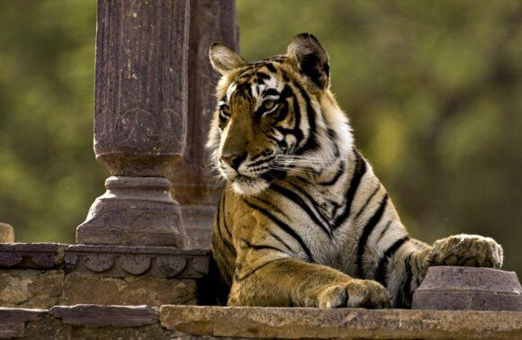 Taj y Tigres en Semana Santa, salida 27 Marzo